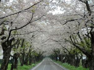 清川浄水場 桜並木