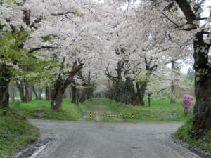 桜のトンネル 北斗市